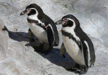 Especialistas de Chile y Perú buscan aunar estrategias para proteger al Pingüino de Humboldt
